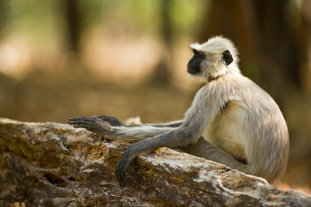 Hanuman langur, Ranthambore