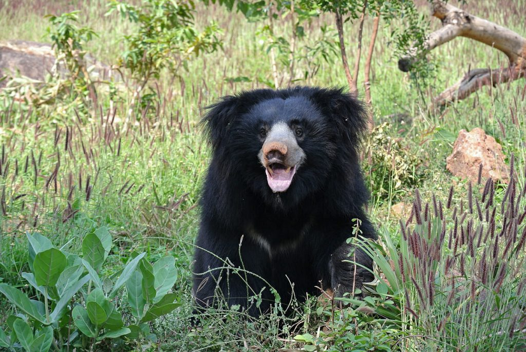 Sloth bear - Bhutan wildlife
