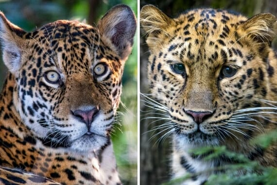 Jaguar vs leopard - learn to tell the difference