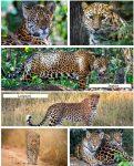 Jaguar vs Leopard pin