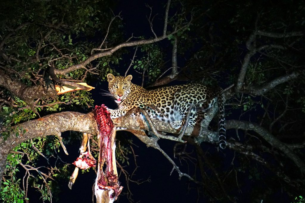 leopard with its prey in a tree