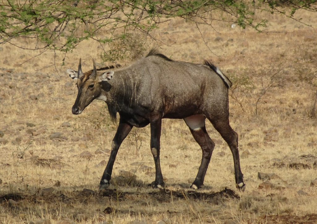 Nilgai - on Ranthambore National Park safari