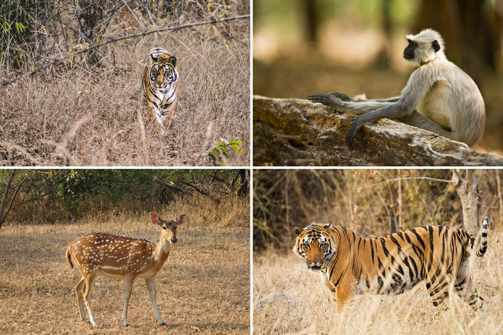 Ranthambore National Park safari