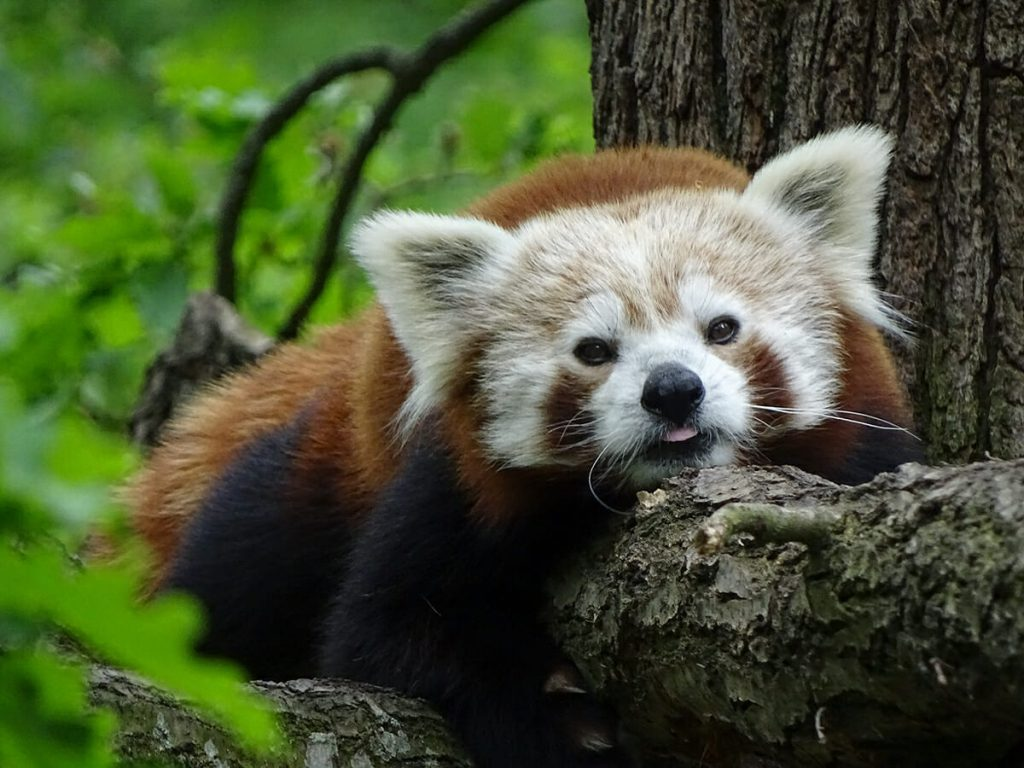 Red panda snoozing