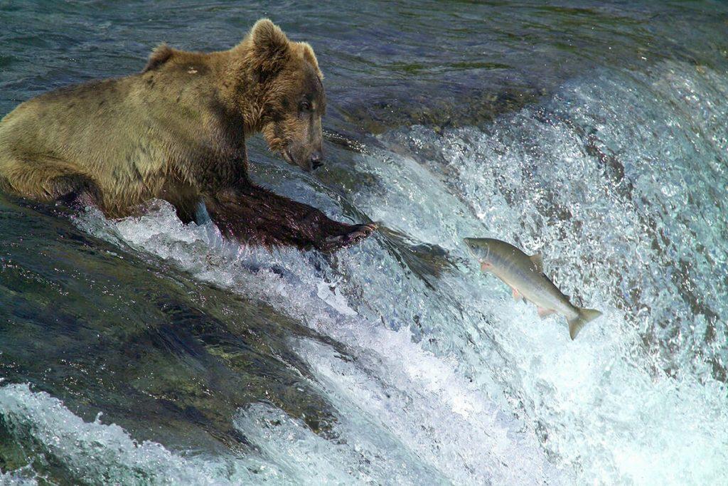 Katmai bear fishing