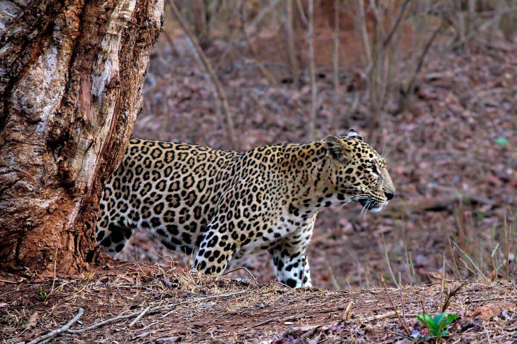 Kerala National Parks - leopard - Pixabay