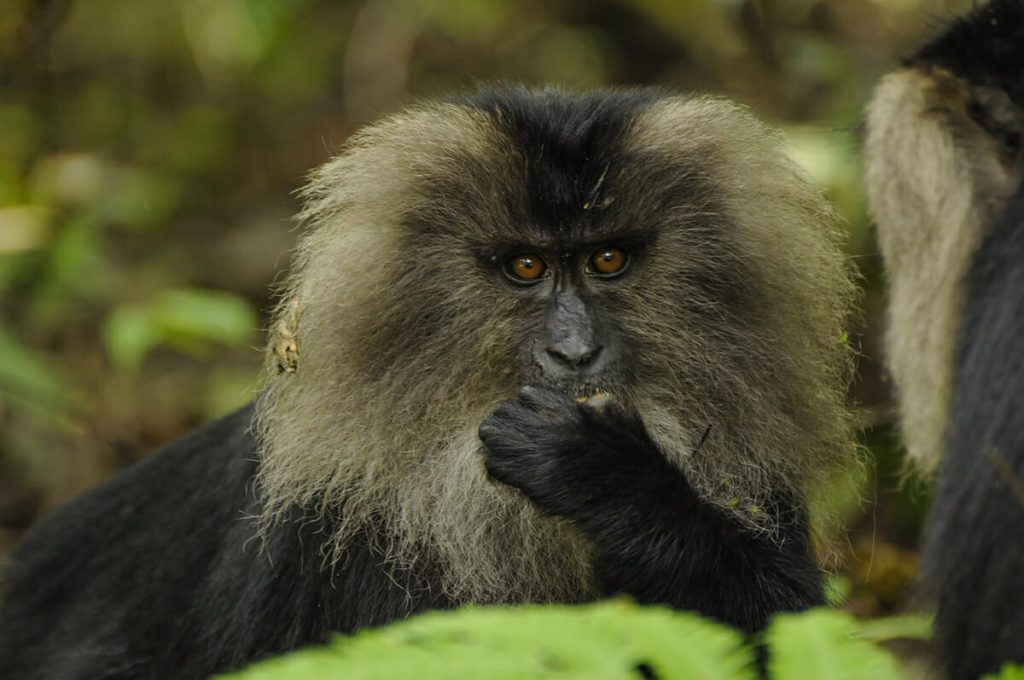Lion-tailed macaque Pixabay