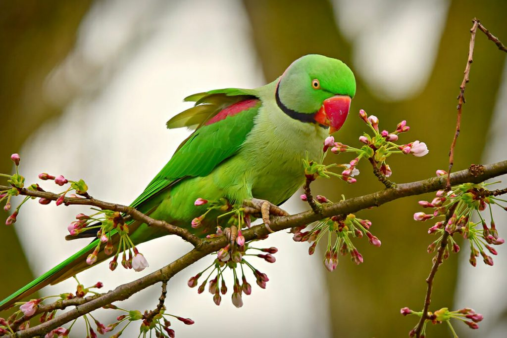 Rose-ringed Parakeet in Ranthambore National Park