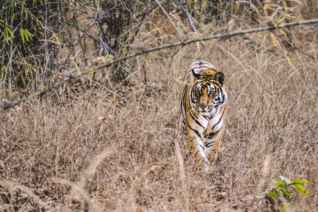 Ranthambore National Park safari - tigress