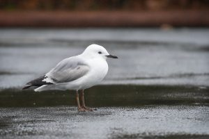 Black-billed gull in non-breeding plumage