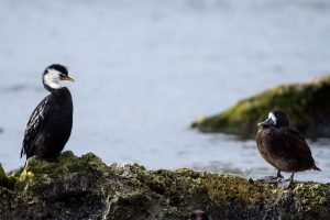 Pied cormorant and new zealand scaup