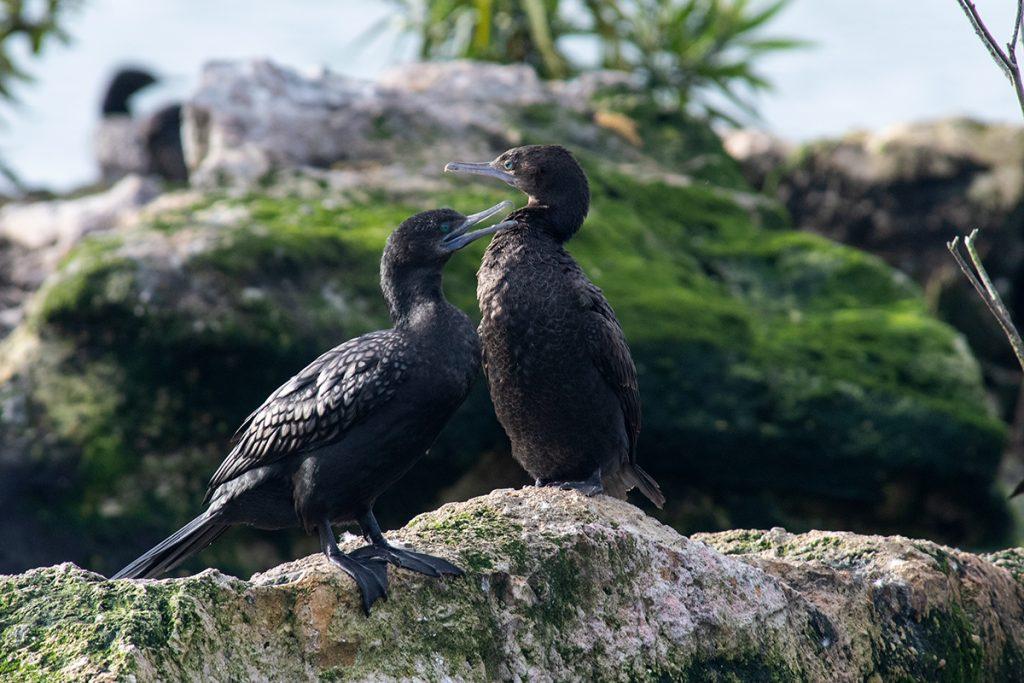 Black cormorants on Lake Rotorua