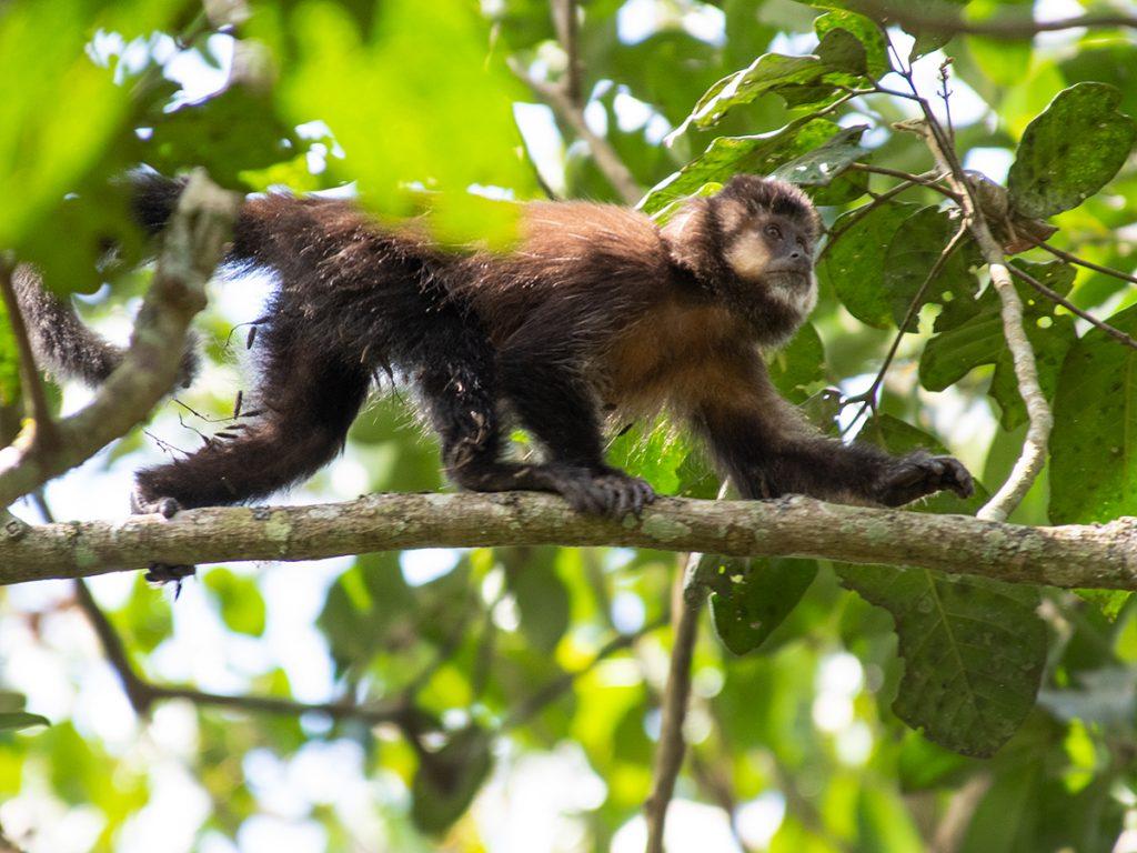 Black capuchin monkey Iguazu Falls