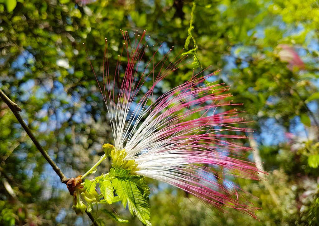 Flowering tree at Iguazu Falls