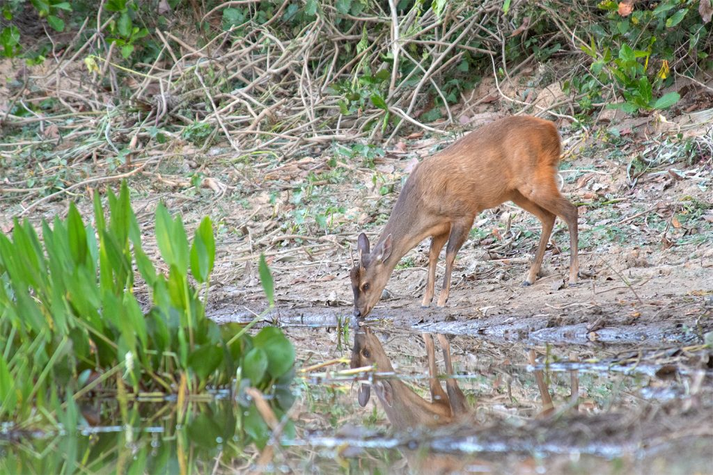Wildlife of Iguazu Falls - Red brocket deer