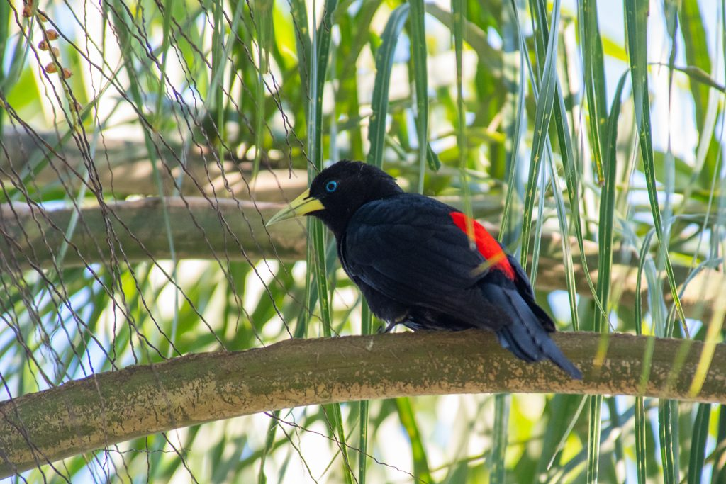 Red-rumped cacique at Iguazu Falls