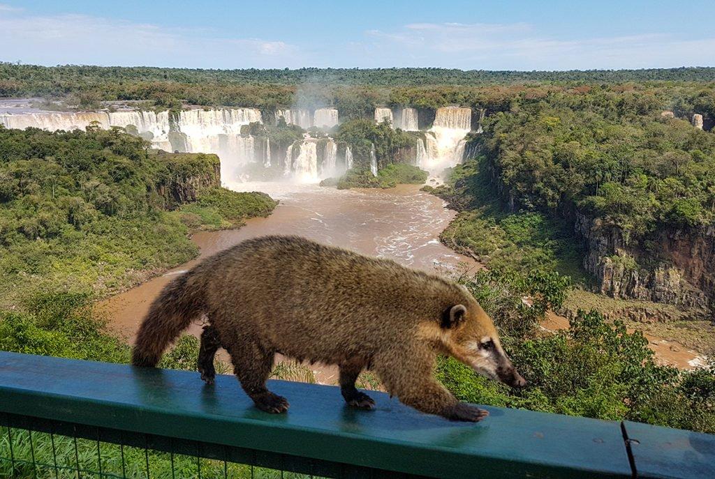 South American coati at Iguazu Falls in Brazil