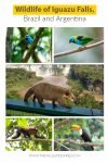 wildlife of iguazu falls #coatiiguazufalls #capuchiniguazufalls #animalsiguazufalls