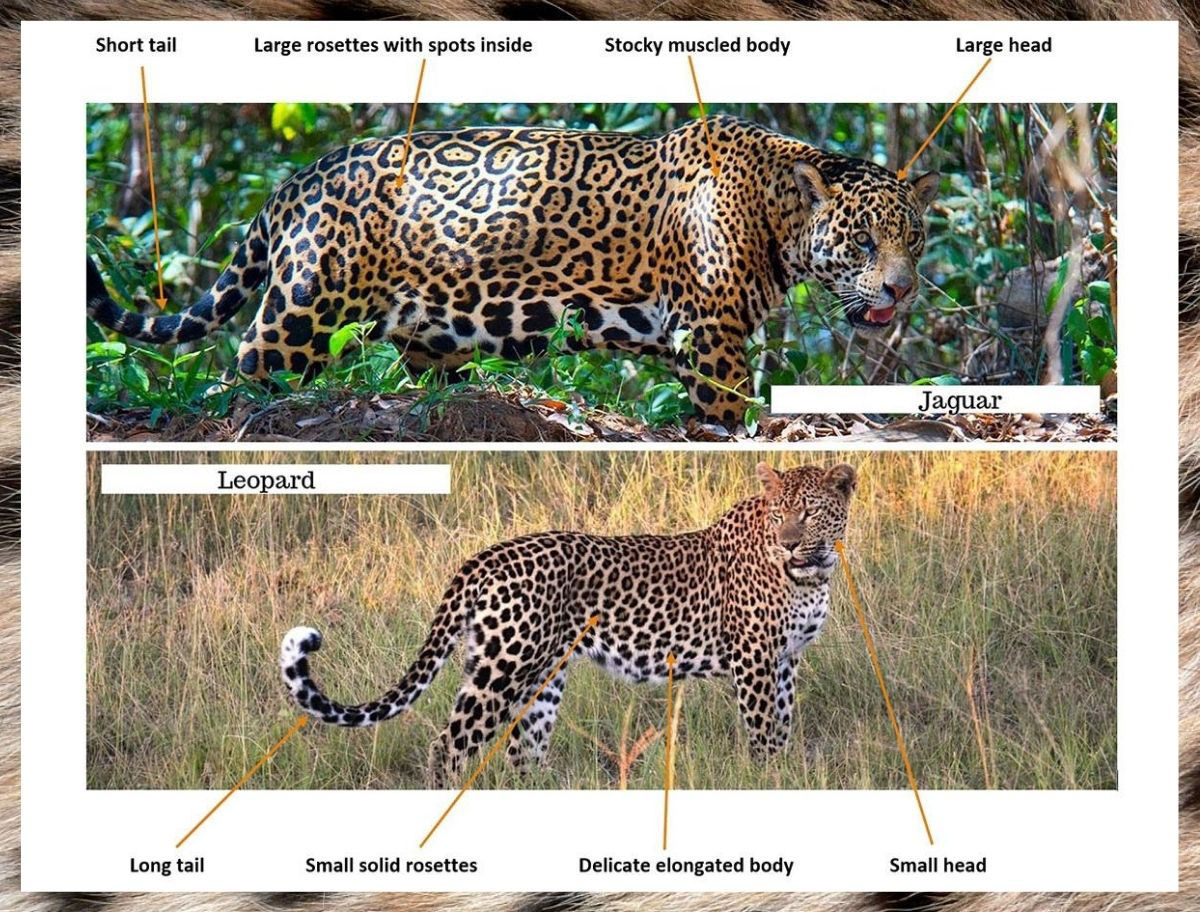 jaguar vs leopard - how to tell the difference between jaguar and leopard