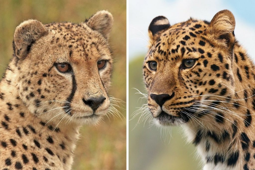 Cheetah vs Leopard - How to tell the two cats apart