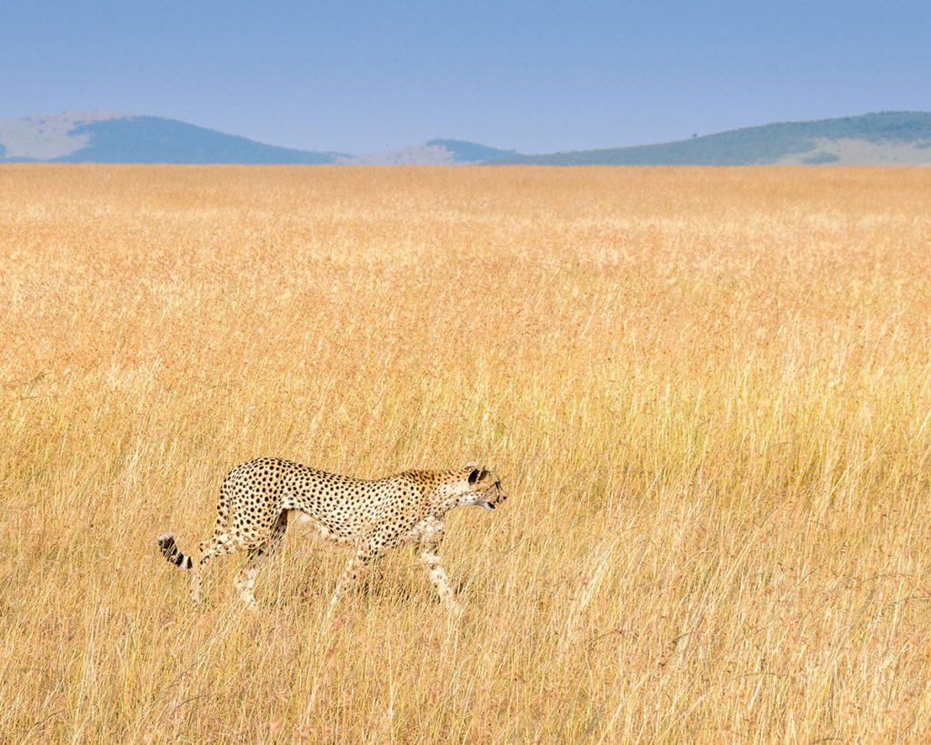 Cheetah in the open habitat