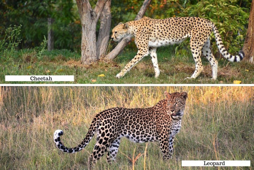 Cheetah vs leopard - the body shape