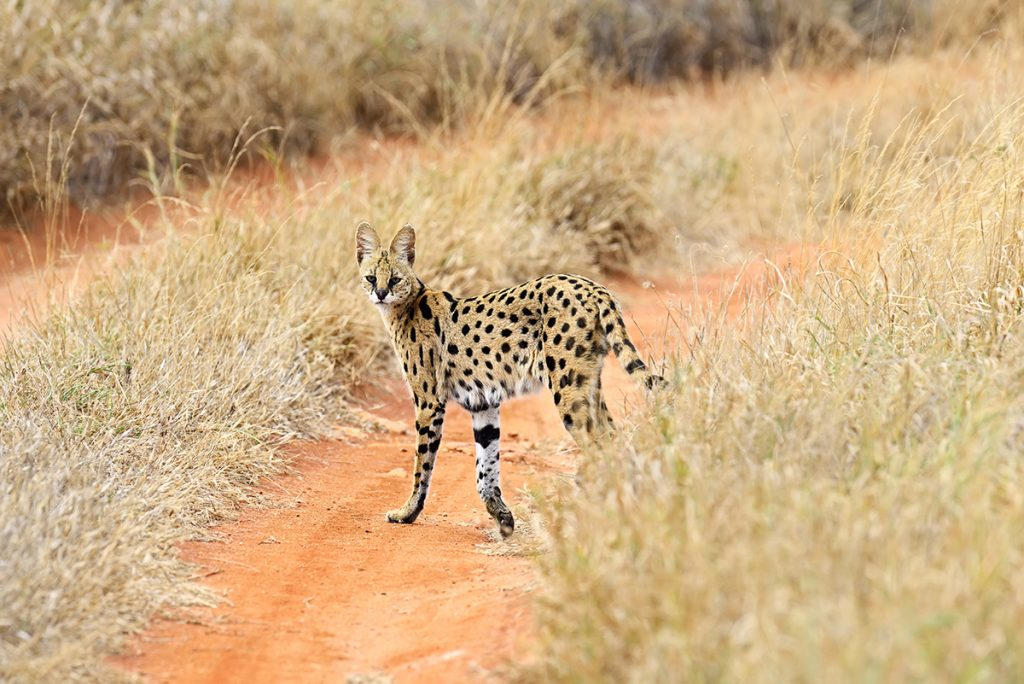 all types of wild cats: Serval