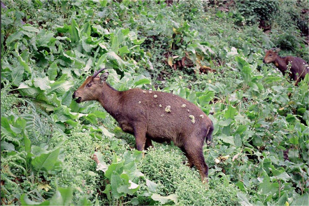 Bhutan wildlife - Goral