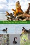 Birdwatching at Lake Rotorua, New Zealand