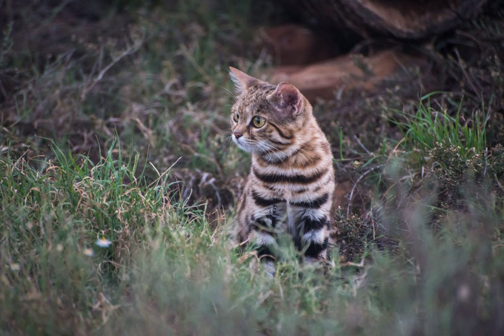 Type of small wild cat - Black-footed cat