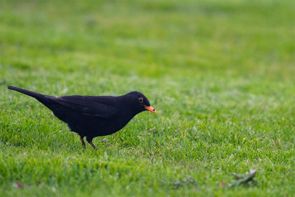 Blackbird in Rotorua