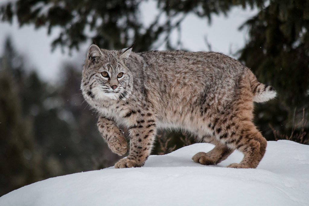 Fluffy wild cat - bobcat