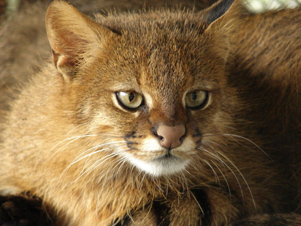 Type of wild cats - Colocolo