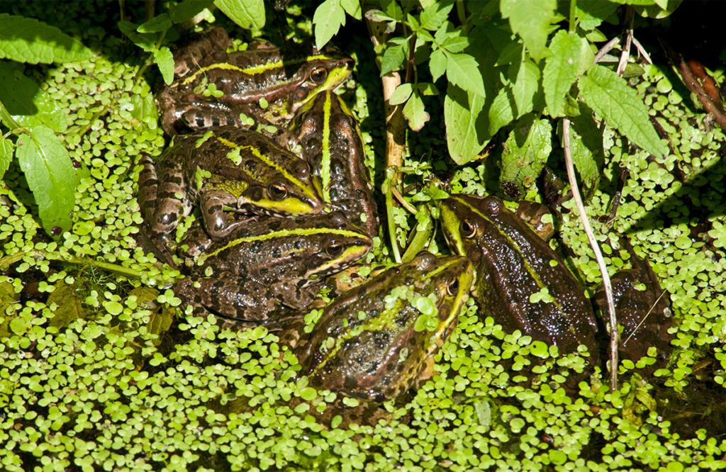 European marsh frogs