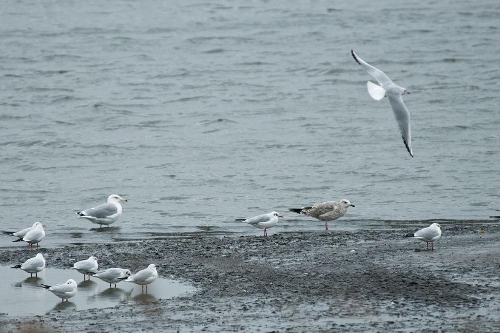 European Herring gulls and Black-headed gulls