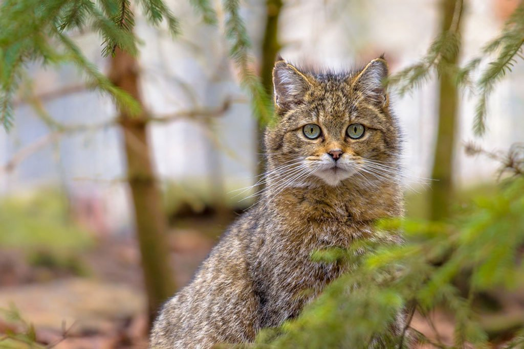 Type of wildcat - European wildcat