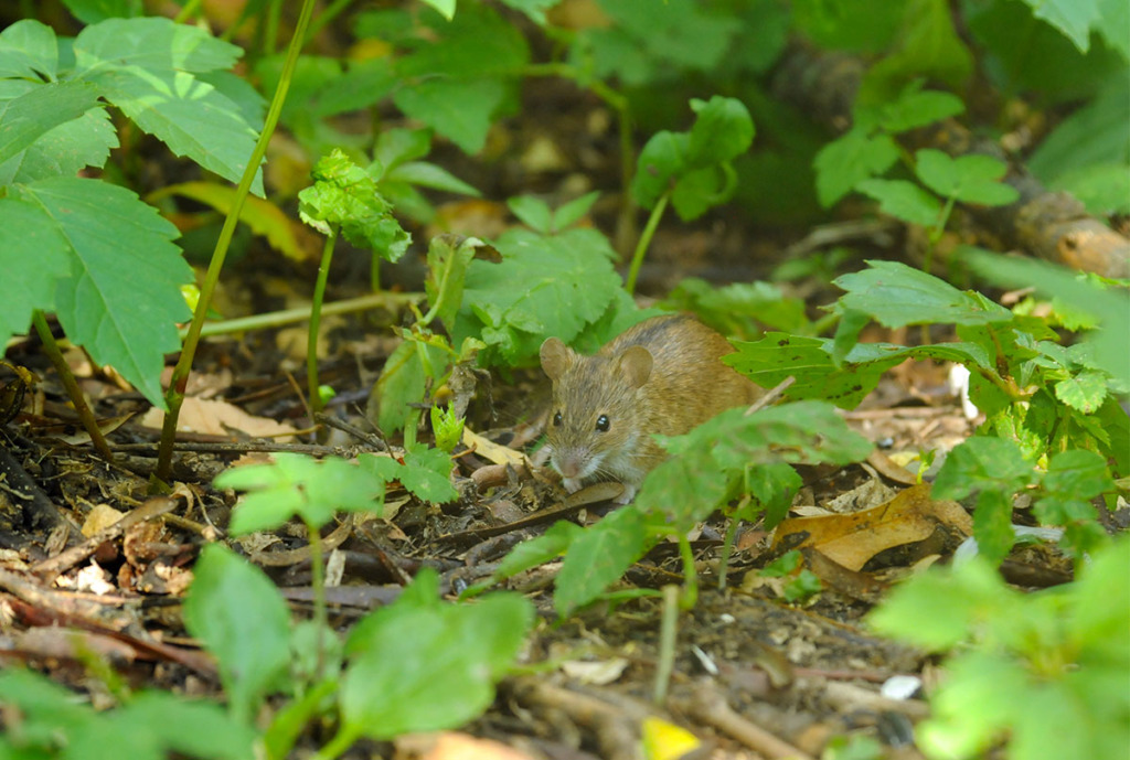 wildlife of moscow city parks: field mouse