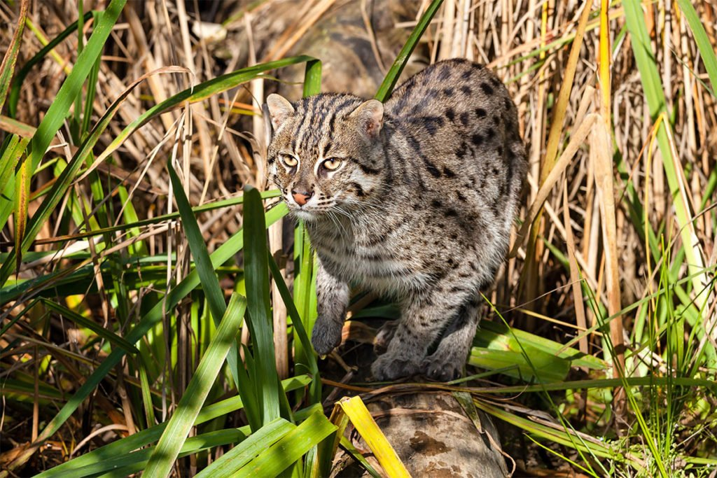Endangered wild cat - Fishing cat