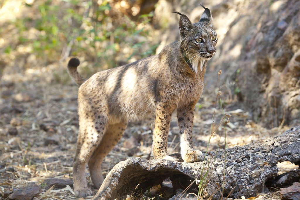 Endangered wild cat species - Iberian lynx