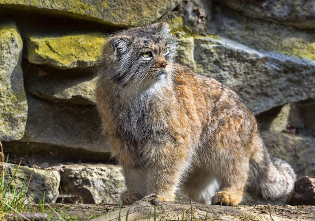 All types of wild cats - Pallas's cat or Manu