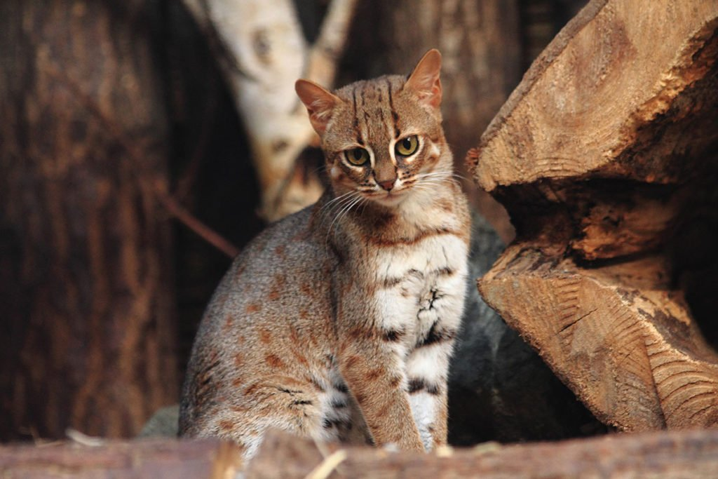 Smalles wild cat in the world - Rusty-spotted cat