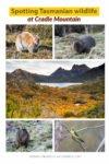 Tasmania wildlife at Cradle Mountain