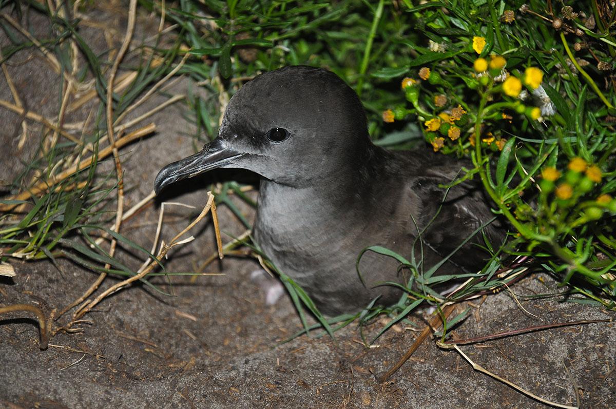 Wedge-tailed sheerwater