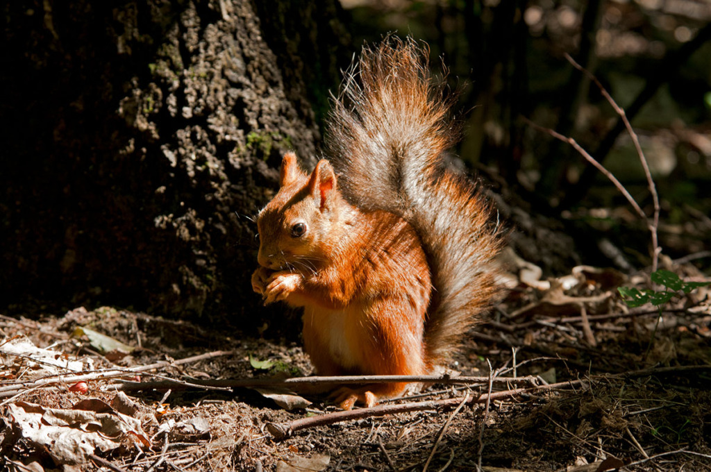 european red squirrel in Moscow