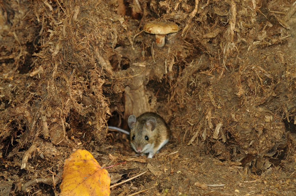 Animals in Moscow - Wood mouse