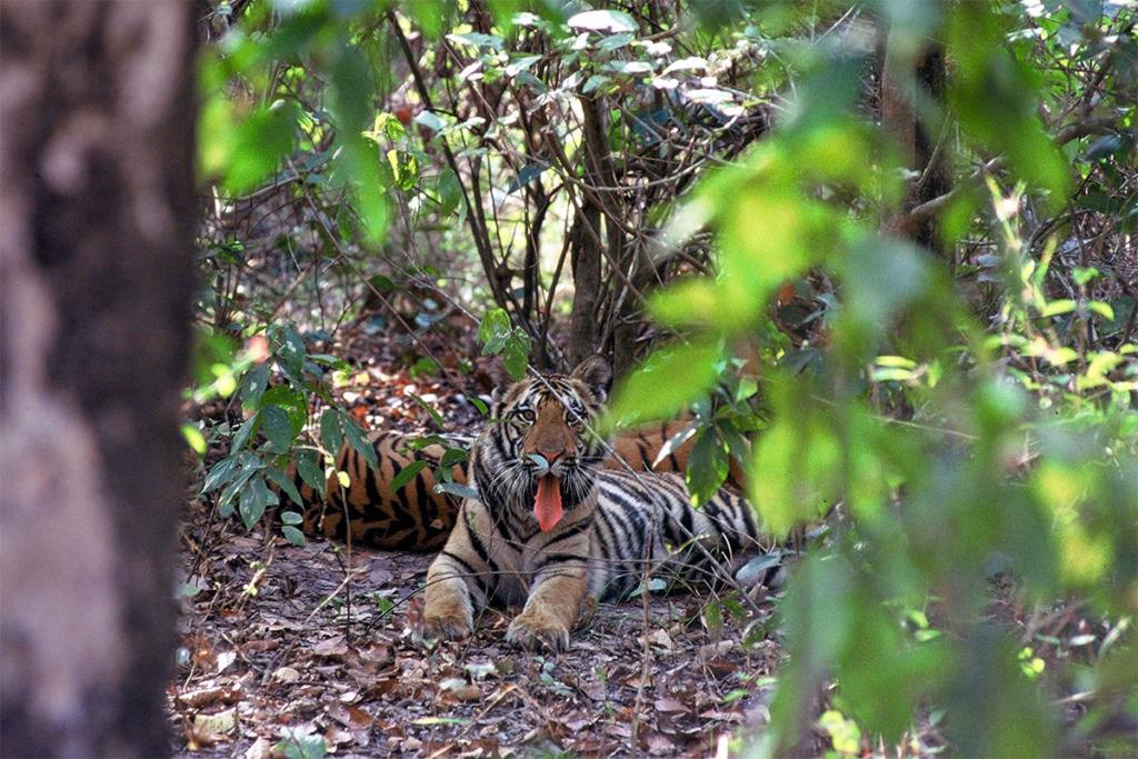 tiger cub in Kanha National Park
