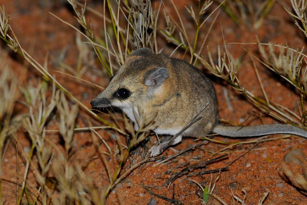 Australian desert dweller - Lesser hairy-footed dunnart