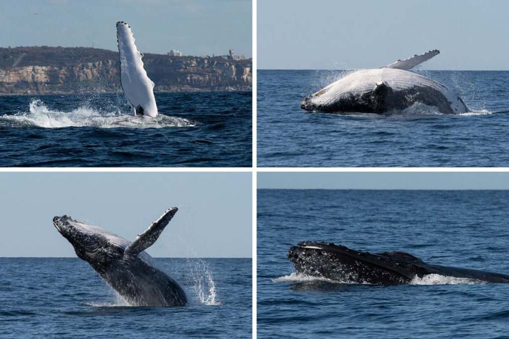 Whale watching adventures in Sydney