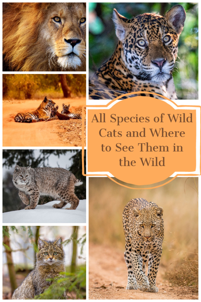 All species of wild cats and where to see them in the wild