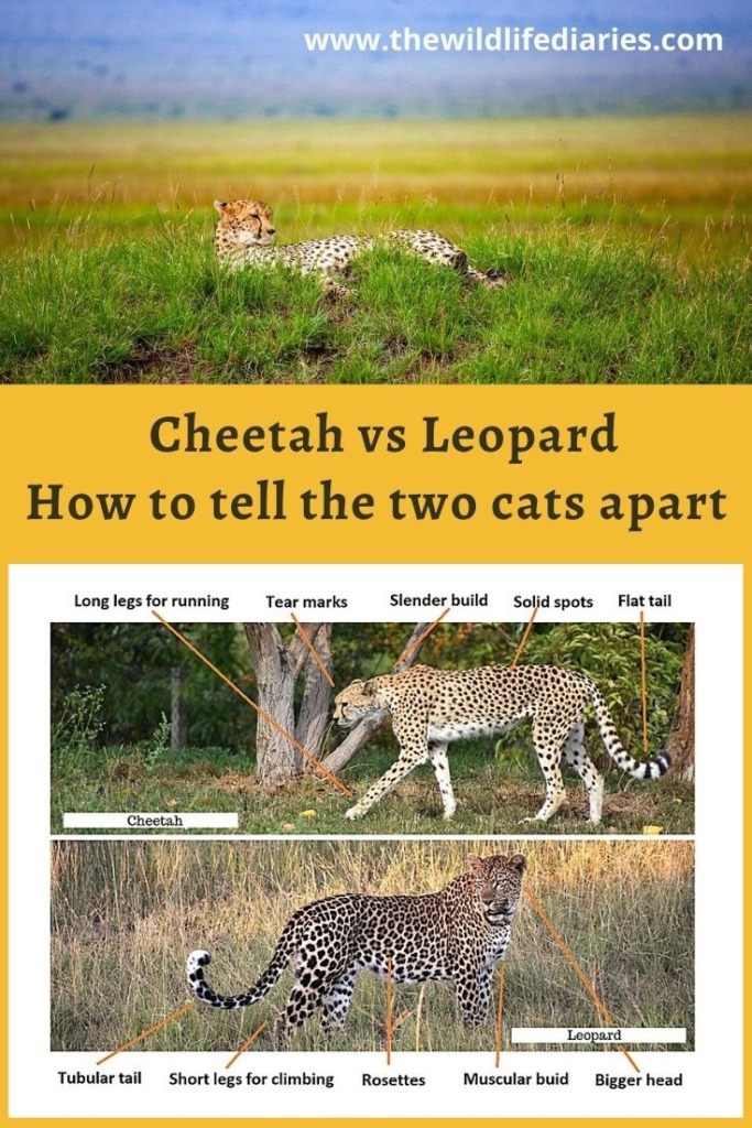 cheetah vs leopard and how to tell the difference between cheetah and leopard